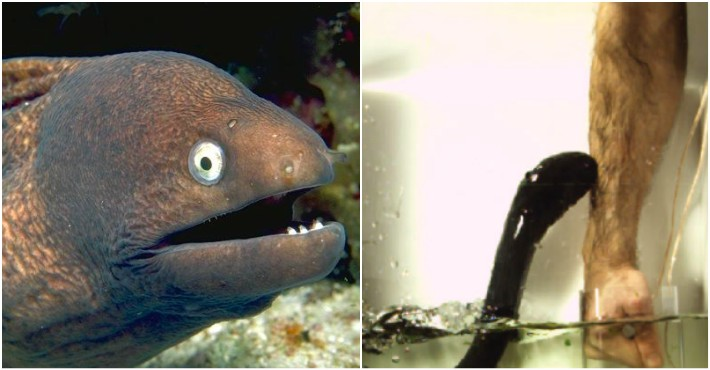 Electric Eel Jumping Out Of Water